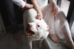 What Should You Do After an Attack From a Pitbull?