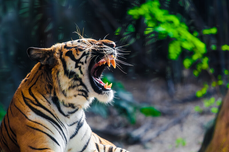 Were You Attacked By a Big Cat? Contact an Exotic Animal Injury Lawyer